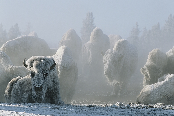 North America Photograph - A Frost-covered Herd Of American Bison by Tom Murphy