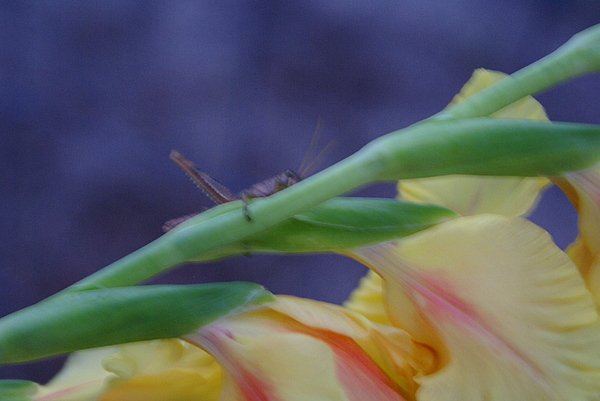 Glads Photograph - A Glad Hopper by Debbie May