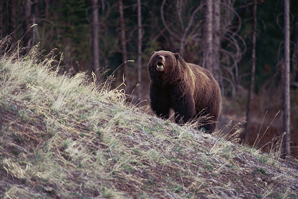Frontal View Photograph - A Grizzly Bear Approaching The Crest by Bobby Model
