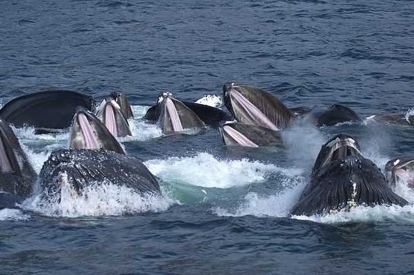 Pacific Ocean Photograph - A Group Of Humpback Whales Bubble Net by Ralph Lee Hopkins