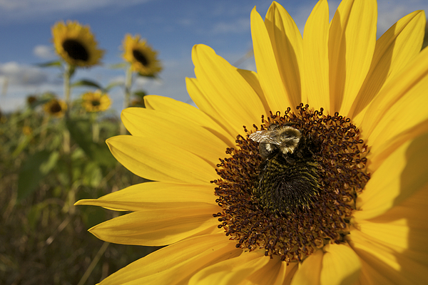 Concord Photograph - A Honey Bee Visiting A Sunflower by Tim Laman