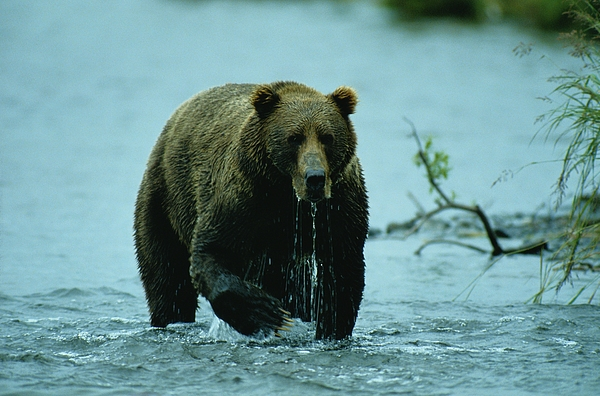 Wild Animals Photograph - A Kodiak Brown Bear Ursus Middendorfii by George F. Mobley