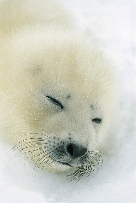 Landscape Photograph - A  Newborn Harp Seal Pup In Its Thin by Norbert Rosing