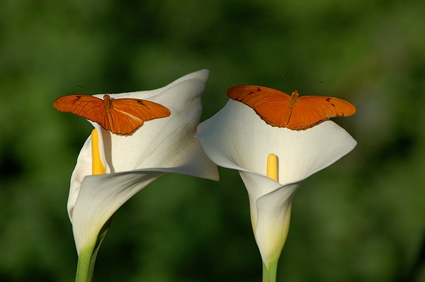 Lily Photograph - A Pair Of Butterflies Land Upon A Pair Of Lilies by Susan Heller