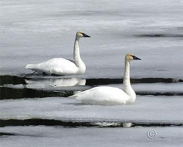 Swans Photograph - A Perfect Pair by Walter Graff