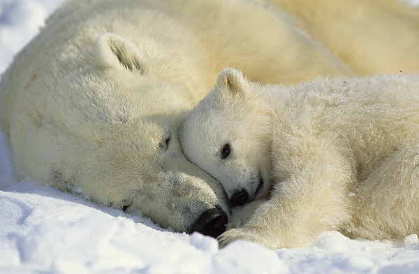 Canada Photograph - A Polar Bear And Her Cub Napping by Norbert Rosing