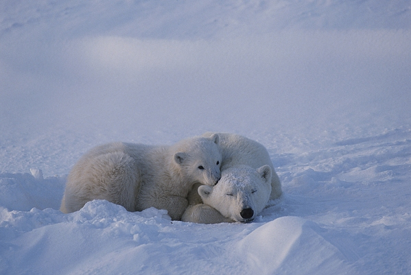 North America Photograph - A Polar Bear Cub Ursus Maritimus Rests by Tom Murphy