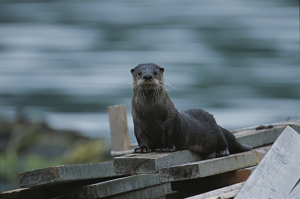 Subject Photograph - A River Otter Perched On Planks Of Wood by Joel Sartore