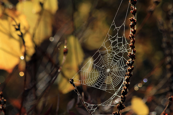 Spider Photograph - A Spiders Creation by Karol Livote