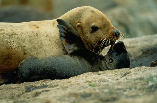 Steller Sea Lions Photograph - A Steller Sea Lion Cow Eumetopias by Joel Sartore