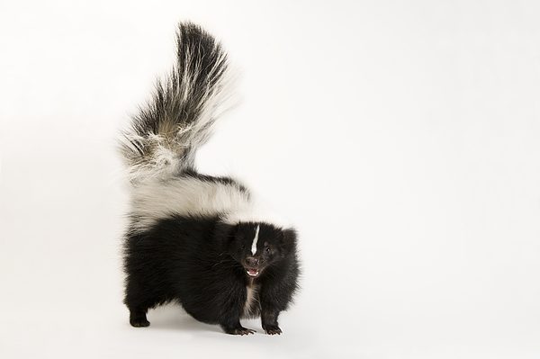 Wildlife Photograph - A Striped Skunk, Mephitis Mephitis by Joel Sartore