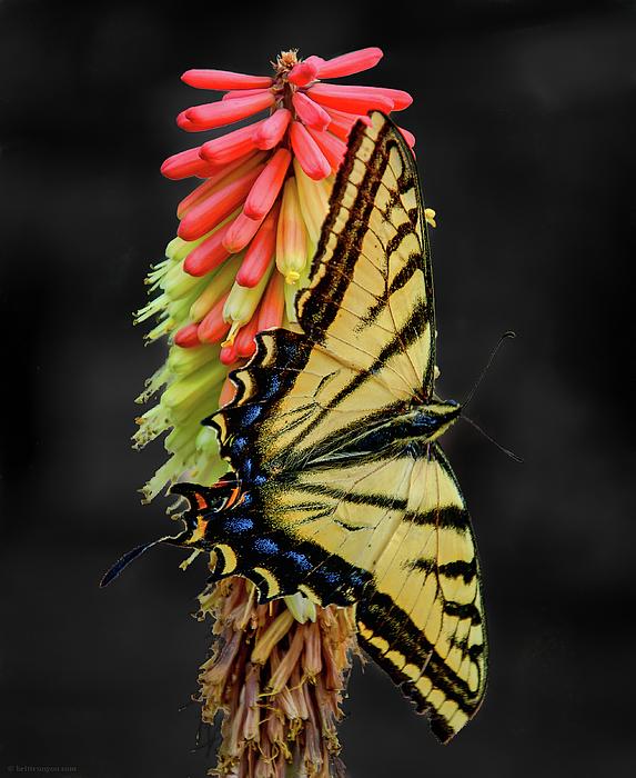 Flower Photograph - A Tiger On A Poker by Britt Runyon