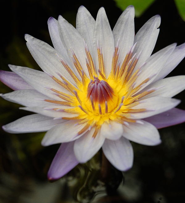 Waterlily Photograph - A Tinge Of Purple by Jean Booth