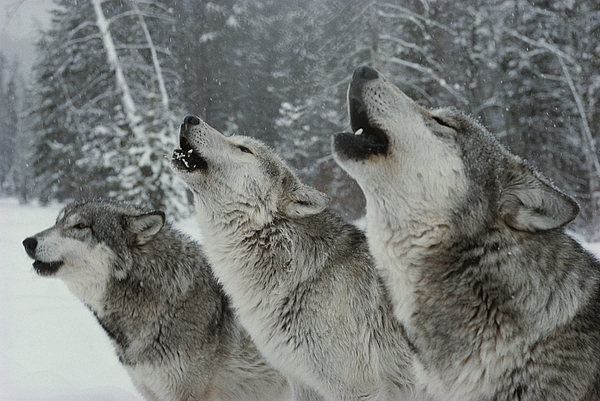 Subject Photograph - A Trio Of Gray Wolves, Canis Lupus by Jim And Jamie Dutcher