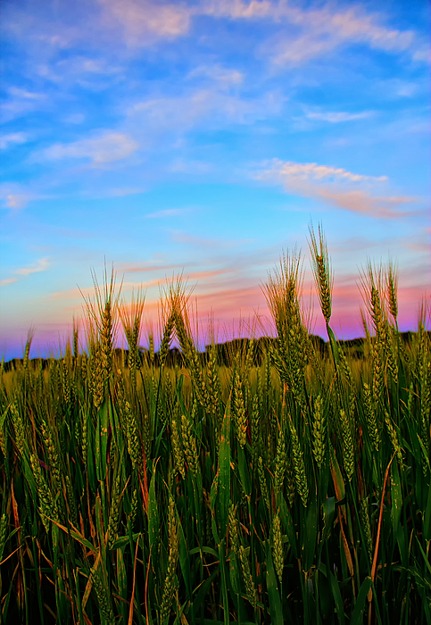 Wheat Photograph - A View From Crop Level by Bill Tiepelman