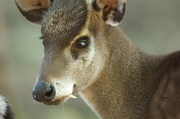 A Western Tufted Deer Elaphodus Photograph By Joel Sartore