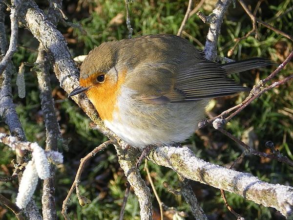 Robin Photograph - A Winter Friend by Joanne Simpson
