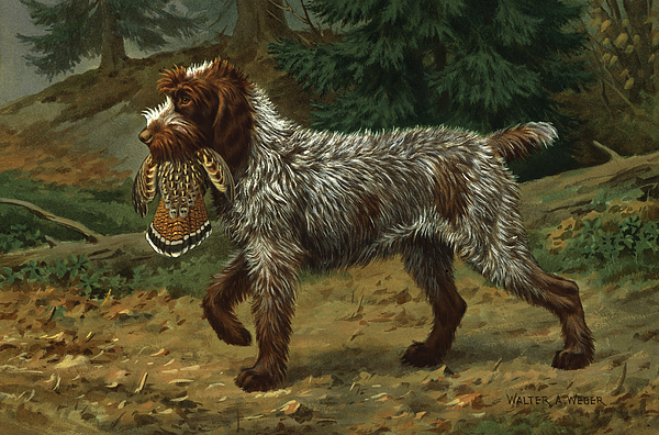 Illustration Photograph - A Wire-haired Pointing Griffon Holds by Walter A. Weber