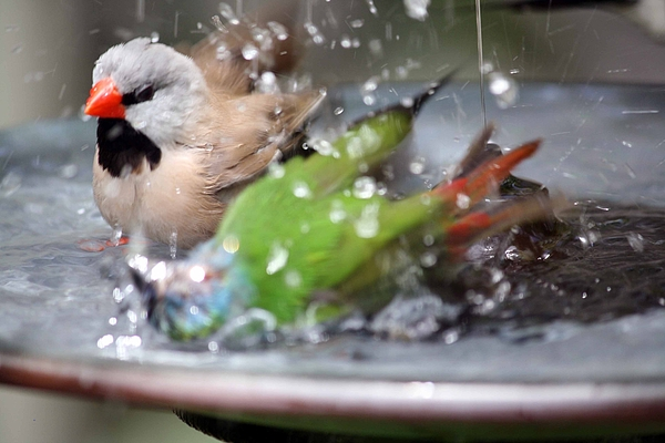 Finch Photograph - A Wondrous Bath by Andrea  OConnell