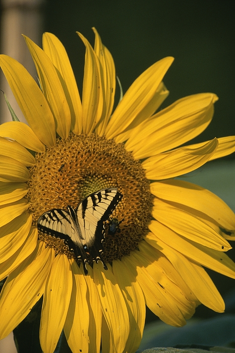Animals Photograph - A Yellow Swallowtail by Taylor S. Kennedy