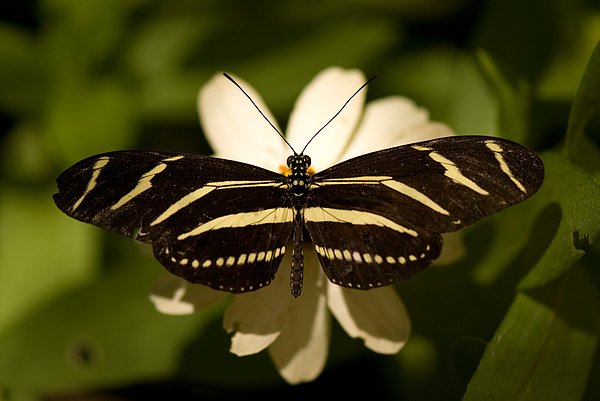 Nobody Photograph - A Zebra-winged Butterfly At The Lincoln by Joel Sartore