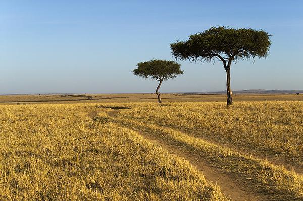 Color Image Photograph - Acacia Trees In The Maasai Mara by Nigel Hicks