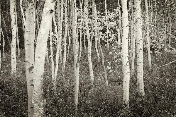 Acadia National Park Photograph - Acadia Birch Trees by Michael Hudson