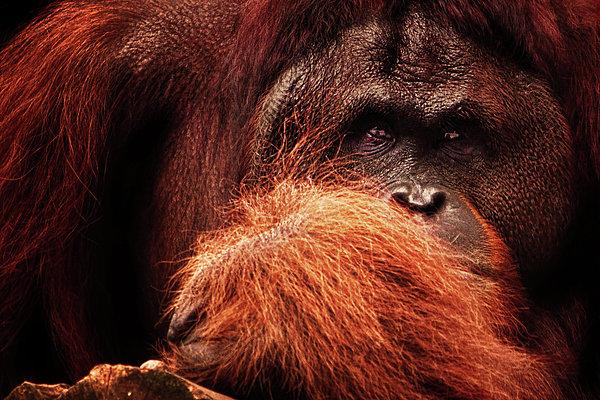 Orangutang Photograph - Aetiology by Andrew Paranavitana