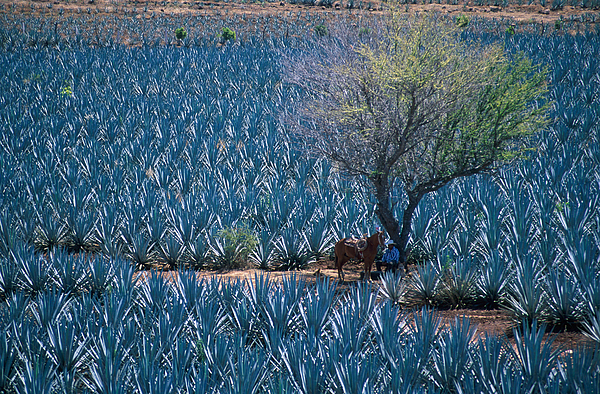 Agave Fields Near Tequila Photograph - Agave by Christian Heeb