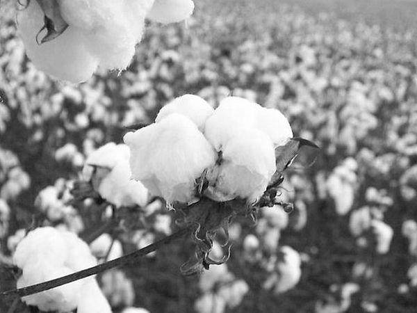 Black & White Photograph - Alabama Cotton Black And White by Paula Ferguson