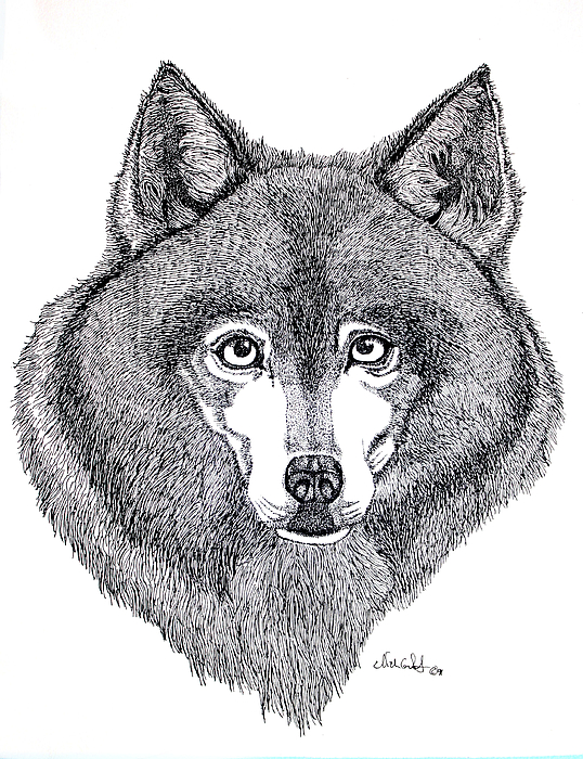 Dog Drawing - Alaskan Husky by Nick Gustafson