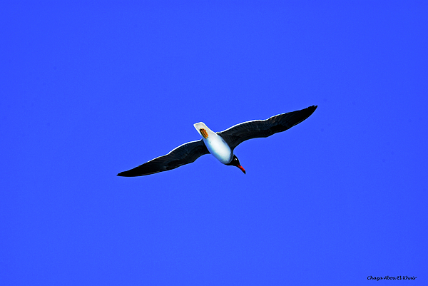 Bird Photograph - Albatros by Chaza Abou El Khair