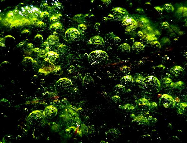 Algae Photograph - Algae Bubbles by Catherine Natalia  Roche