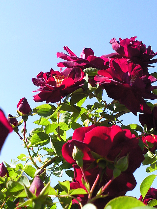All About Roses And Blue Skies Ix Photograph by Daniel Henning