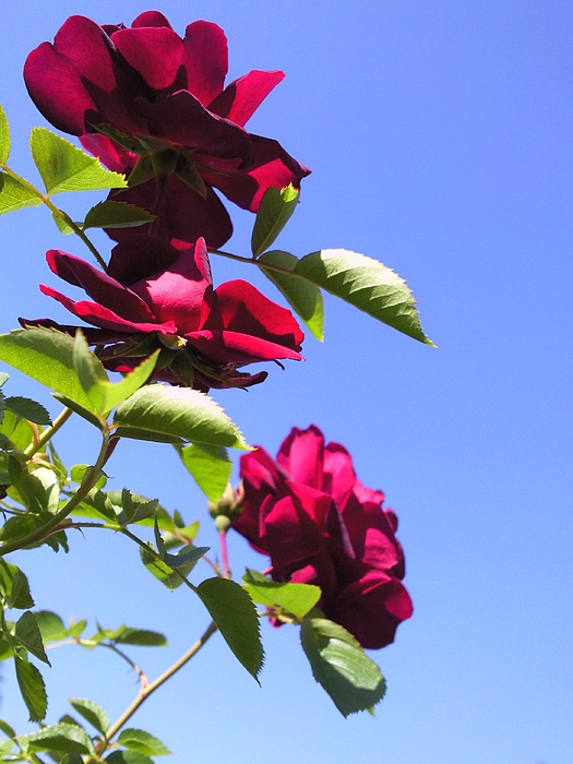All About Roses And Blue Skies Vii Photograph by Daniel Henning