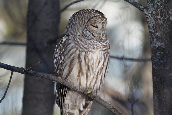 Barred Owl Photograph - Almost At Rest by David Barker