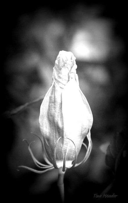 Flower Photograph - Almost Time by Tina Meador