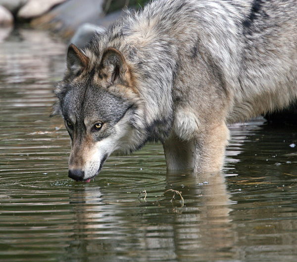 Wolves Photograph - Alone And Watching by Walter Graff