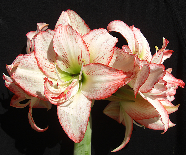 Floral Photograph - Amaryllis Group by Frederic Kohli