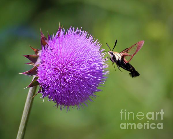 Hummingbird Moth Photograph - Amazing Insects - Hummingbird Moth by Kerri Farley