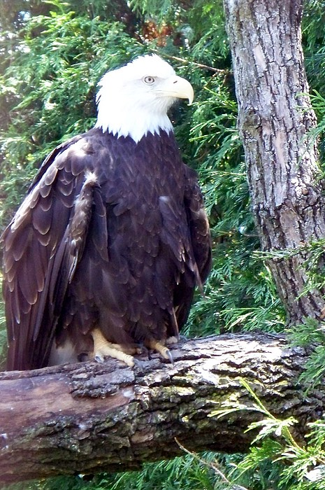 American Photograph - American Bald Eagle by Emily Kelley