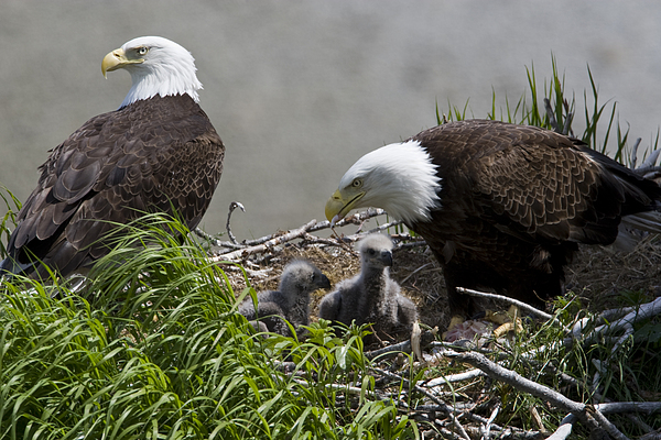 Day Photograph - American Bald Eagles, Haliaeetus by Roy Toft