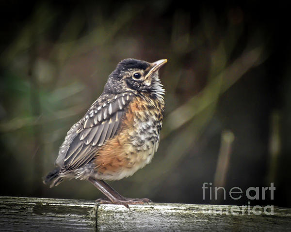 Robin Photograph - American Robin Fledgling by Kerri Farley