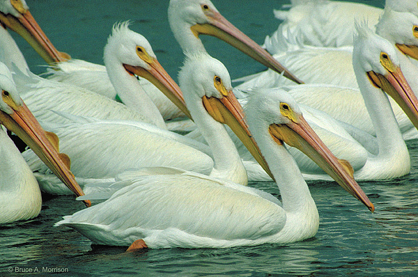 White Pelicans Photograph - American White Pelicans by Bruce Morrison