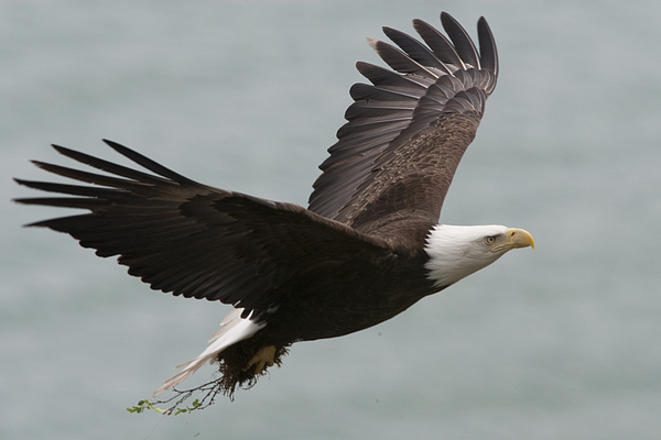 Day Photograph - An American Bald Eagle Soaring by Roy Toft