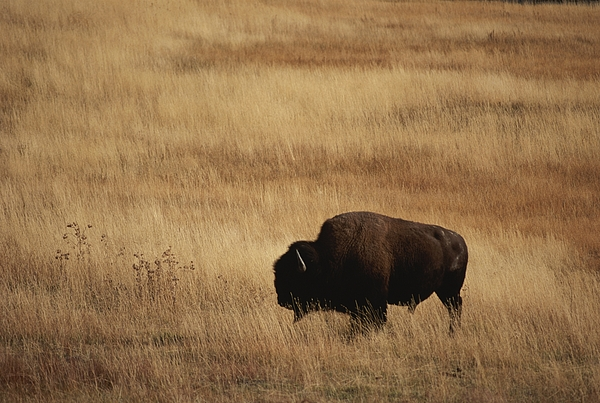 Bison Bison Photograph - An American Bision In Golden Grassland by Michael Melford