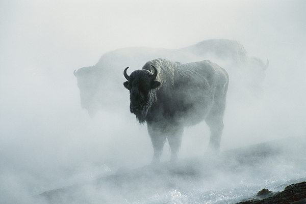 American Bison Photograph - An American Bison Bull Bison Bison by Michael S. Quinton