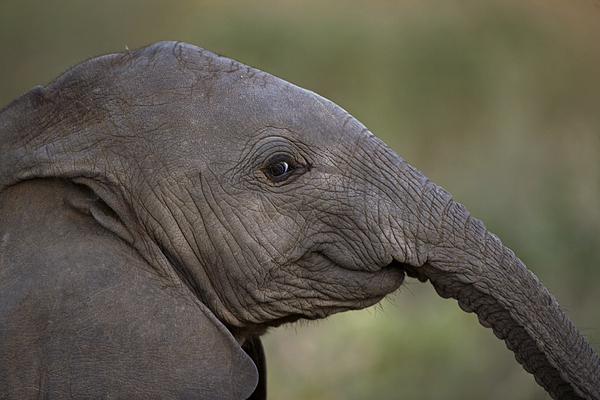 Outdoors Photograph - An Eight-month-old Elephant Calf by Michael Nichols