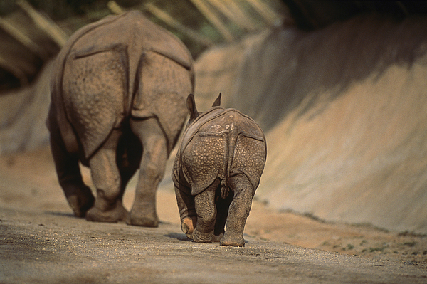 Zoological Parks Photograph - An Indian Rhinoceros And Her Baby by Michael Nichols