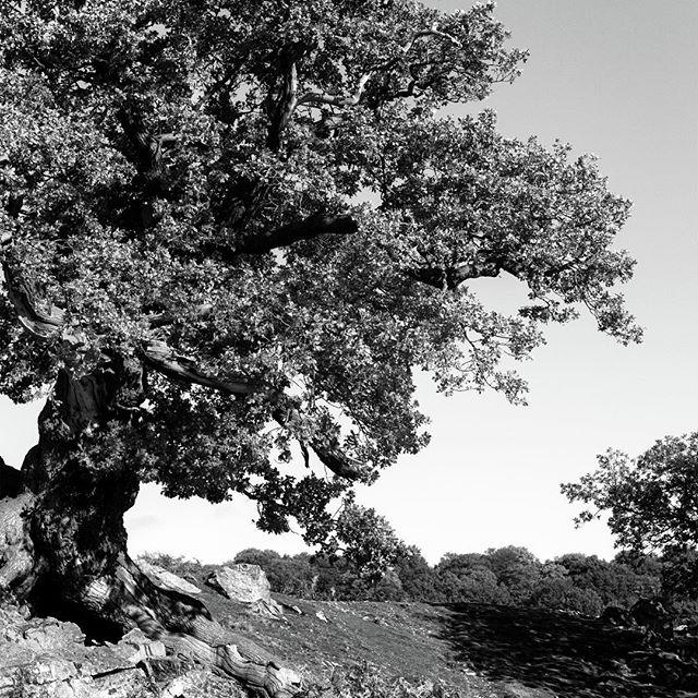 Woodland Photograph - Ancient Oak, Bradgate Park by John Edwards